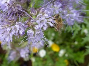 Biene in Vasselia